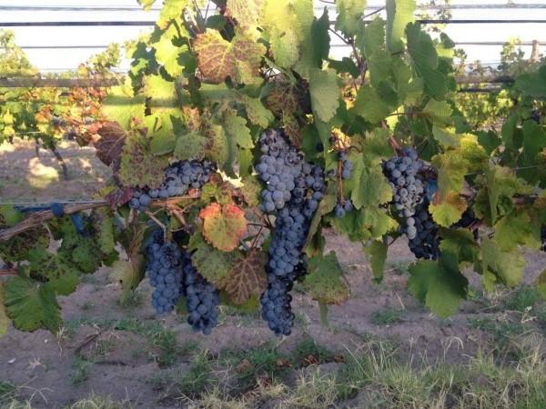 Vendo Finca con uvas finas hermosa casa